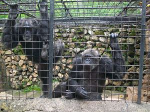 Chimp imps (The one on the right is the spit flinging one (The one of the left just threatened it....). The urine flinging one was in another cage. Gotta spread out the moisture, I guess.)